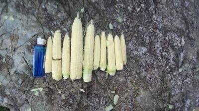 バニラッシュ 栽培 とうもろこし 間引き ヤングコーン収穫