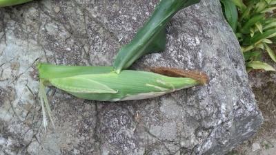 バニラッシュ 栽培 とうもろこし 収穫
