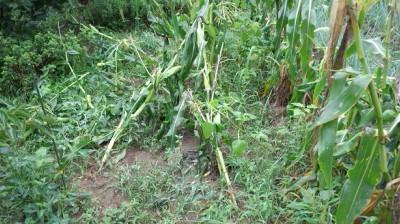 バニラッシュ 栽培 とうもろこし