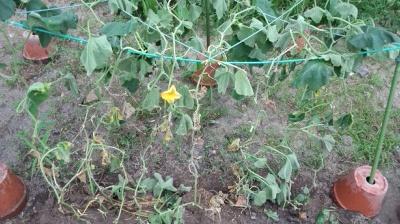 バターナッツ かぼちゃ 栽培 植え替え