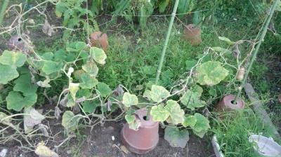 バターナッツ かぼちゃ 栽培