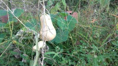 バターナッツ かぼちゃ 栽培 実