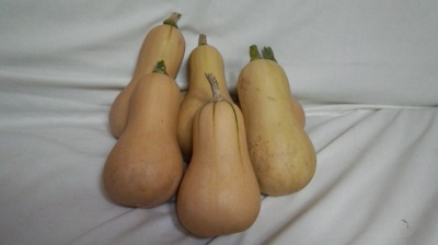 バターナッツ かぼちゃ 栽培 収穫