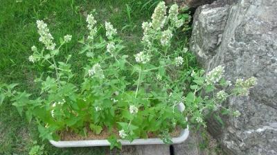 キャットニップ 栽培 開花