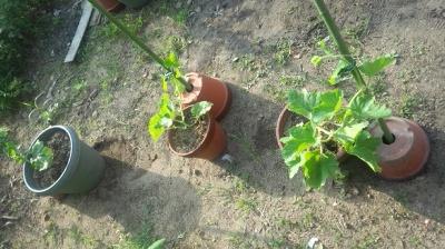 ハニーオレンジ メロン 栽培