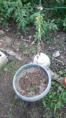 ハニーオレンジ メロン 栽培 害虫被害 枯れた 地中の白い幼虫