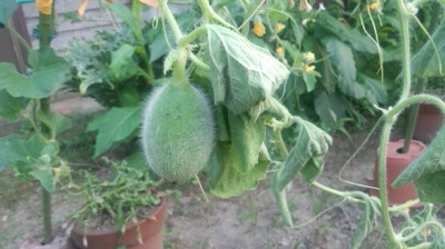 ハニーオレンジ メロン 栽培 害虫被害