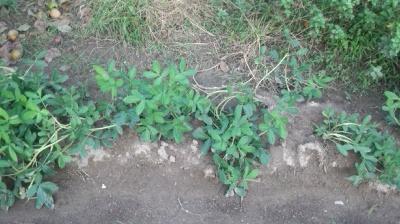 黒落花生 栽培 土寄せ