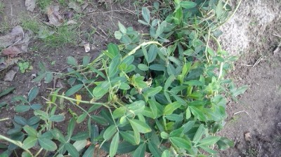 黒落花生 栽培