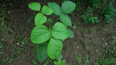 丹波黒大豆 栽培